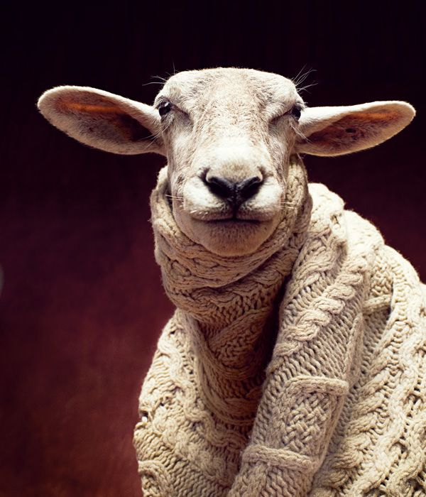 Sheep in knits.