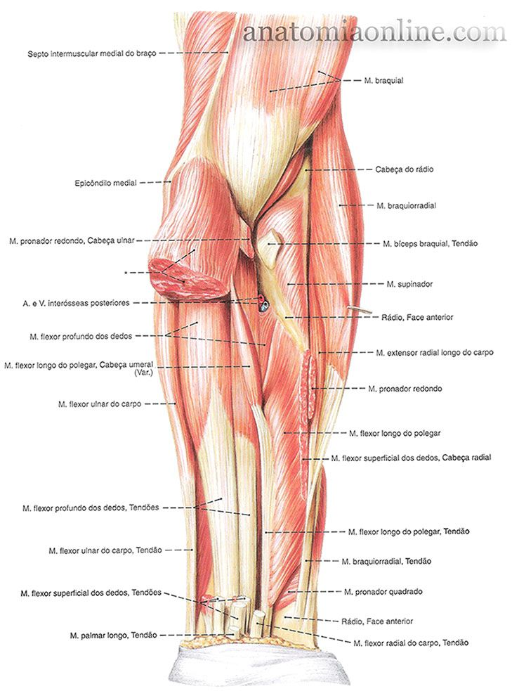 Músculos Do Antebraço Anatomia Do Corpo Humano Anatomia