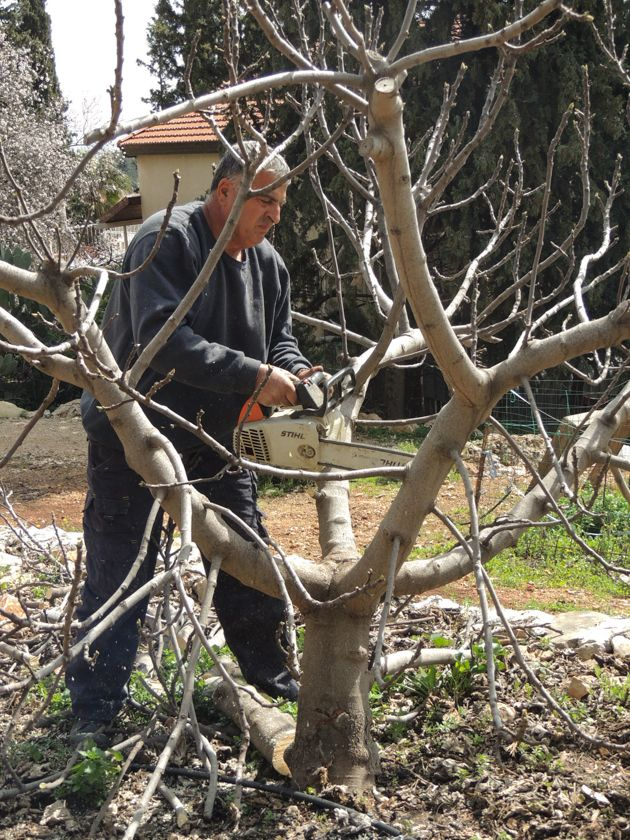Keep Fruit Trees Small For The Best And Easiest Harvests Pruning Fruit Trees Fruit Trees Growing Fruit Trees