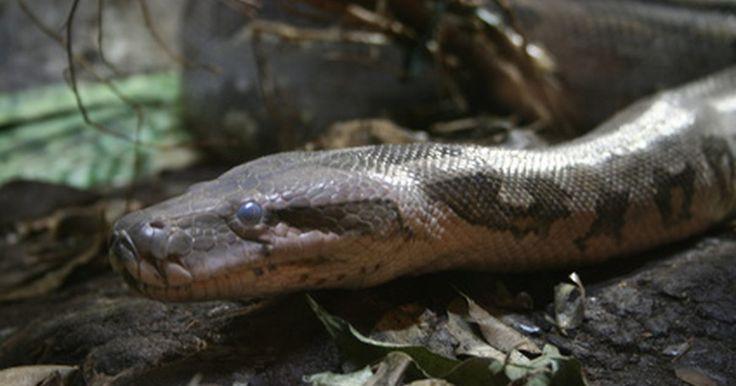 Información sobre la serpiente pitón. Los pitones son un tipo de serpiente no venenosa que se encuentran en Asia, Australia, y África subsahariana. Los pitones son una de las mayores especies de serpientes mejor conocidos por la forma en cómo matan a sus presas, apretándolos lentamente hasta la muerte antes de tragárselas enteras.
