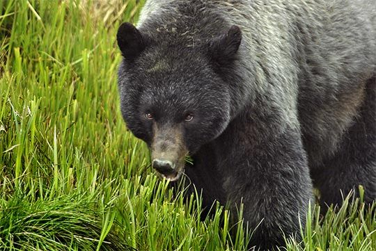 Cash For Clunkers >> Black Bear- Blue grey phase | American black bear, Black bear, American national parks