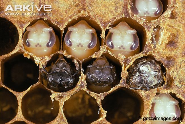 Honey bee videos, photos and facts - Apis mellifera   ARKive