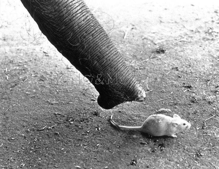 Elephant sniffing a mouse -John Drysdale: