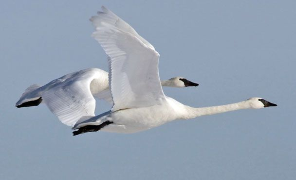 Trumpeter Swans in flight - birds http://www.trumpeterswansociety.org/images/slide-5.jpg