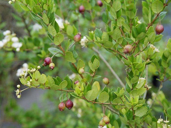 Luma apiculata | Trees | Patagonia Plants