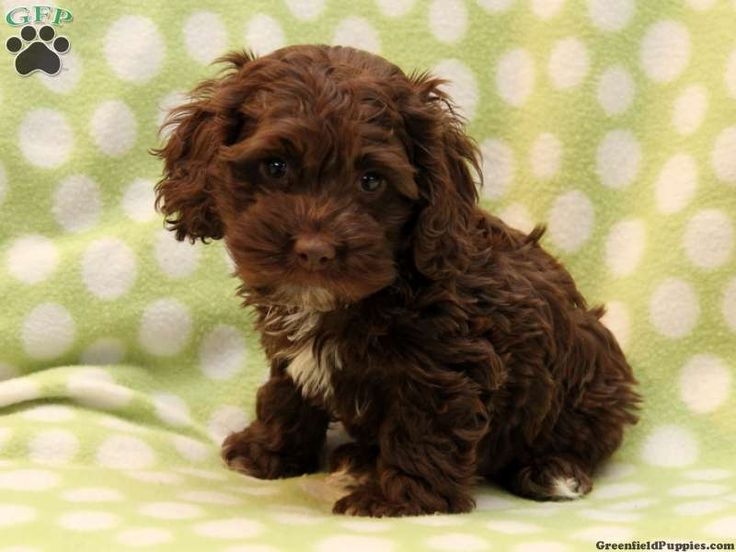 Cockapoo Puppies For Sale In PA!