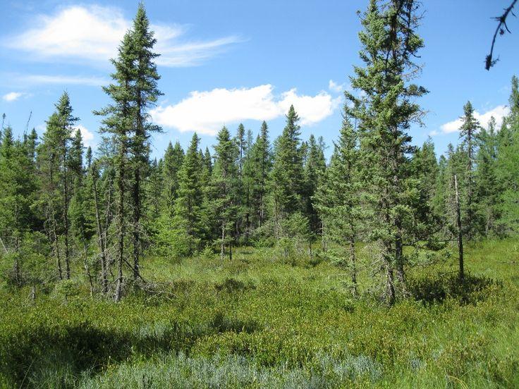 black spruce bog