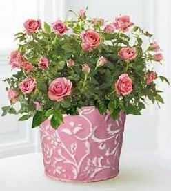 Indoor Care - miniature rose bushes