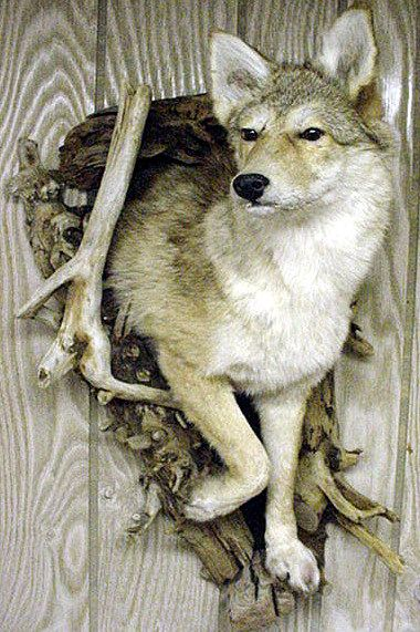 48 Best Images About Taxidermy On Pinterest Coyotes