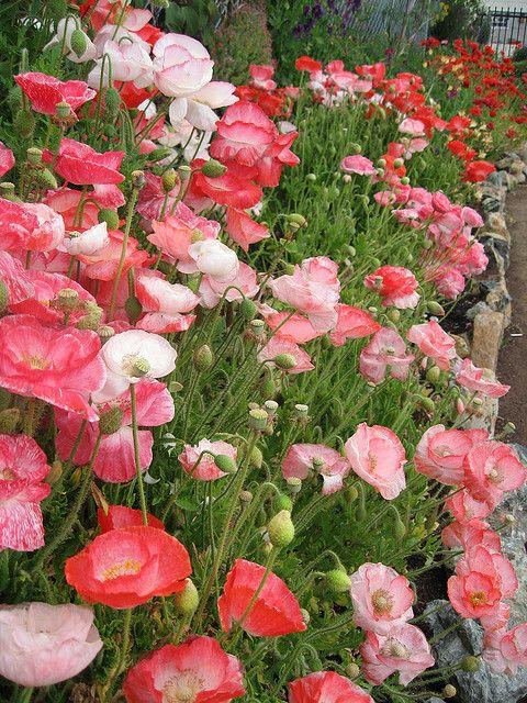 Beautiful cottage garden border full of poppies
