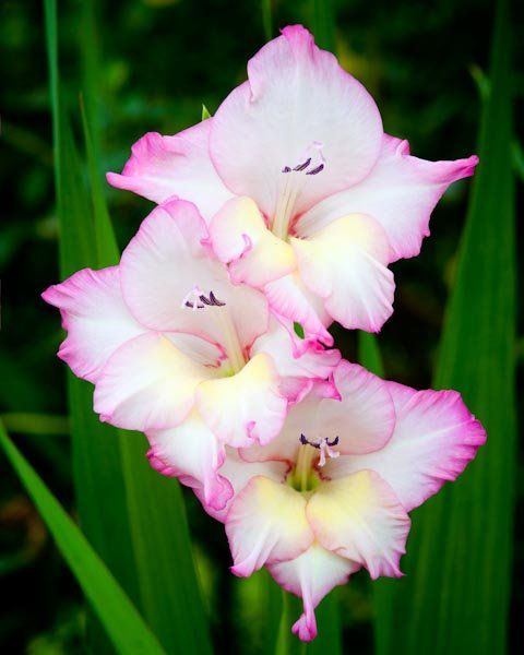 Gladiolus - August Flower | Flowers | Pinterest ...