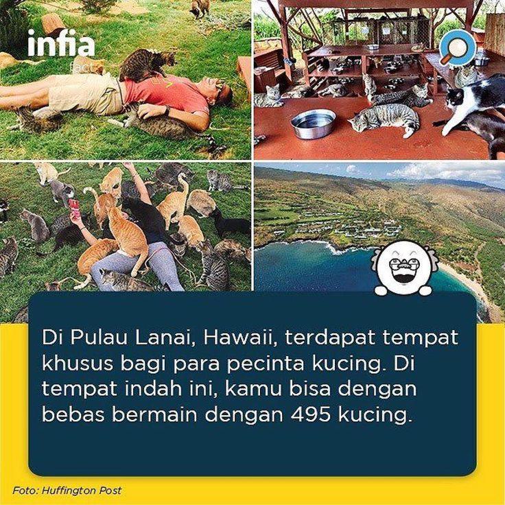 Di pulau indah ini terdapat Lanai Cat Sanctuary yang menjadi tempat yang sangat menyenangkan bagi para pecinta kucing. Di sini, kamu  bisa dengan bebas bermain dengan sekitar 495 ekor kucing. . Tidak ada jarak yang membatasi antara pengunjung dan kucing. Ratusan kucing dibiarkan terlepas di halaman seluas 25 ribu kaki tersebut. Pengunjung juga dapat bermain selama tiga atau empat jam setiap harinya. . Repost @infia_fact . #infia #infiafact #infounik #unik #cat #kucing #lanaiisland #hawaii…