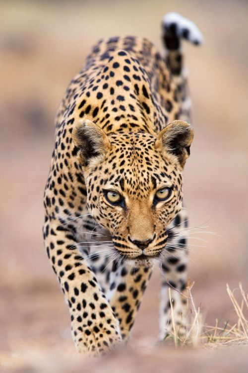 Leopard by Stephen Belcher