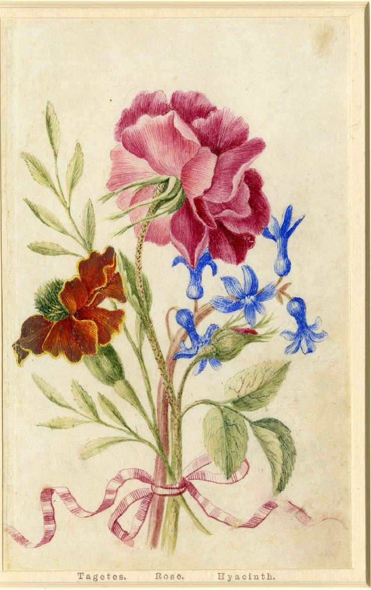 Drawing from an album, pink Rose, orange Tagetes and blue Hyacinth, tied with pink ribbon Watercolour over metalpoint, heightened with white, on vellum by Alexander Marshall. British, date 1639-1682.