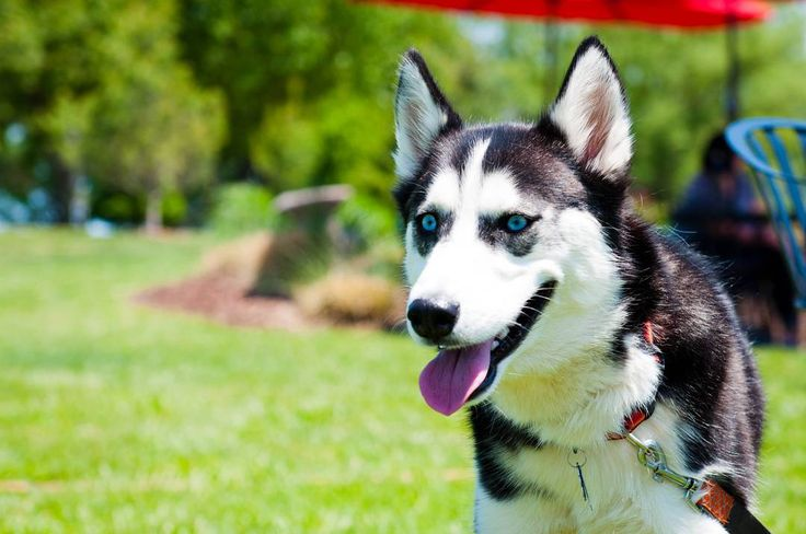 Who's a pretty Husky!? This one for sure!! This Husky is hanging out with mom at the local Somerset Ridge Vineyard and Winery.  #brownfootbear #brownfootbearphotography #photography #gunnarwilliamsphotography #gunnwilliams #dog #dogs #dogsofinstagram #dogoftheday #woof #mustlovedogs #withdog #love #KansasCity #kc #Kansas #ks #kansasphotos #summer #wine #winery #vino #somersetridge #travel #exploring #wineanddogs