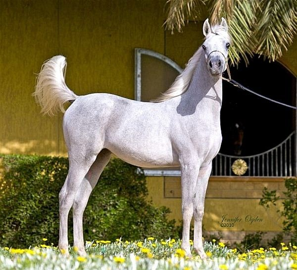 One of the treasures at Ezzain Arabians is Moneerah, a filly sired by Nooreddine Ezzain and out of Ajmal Ibtihaj, the dam of Altaafibari Ezzain. Moneerah is a half-sister to Zweena!