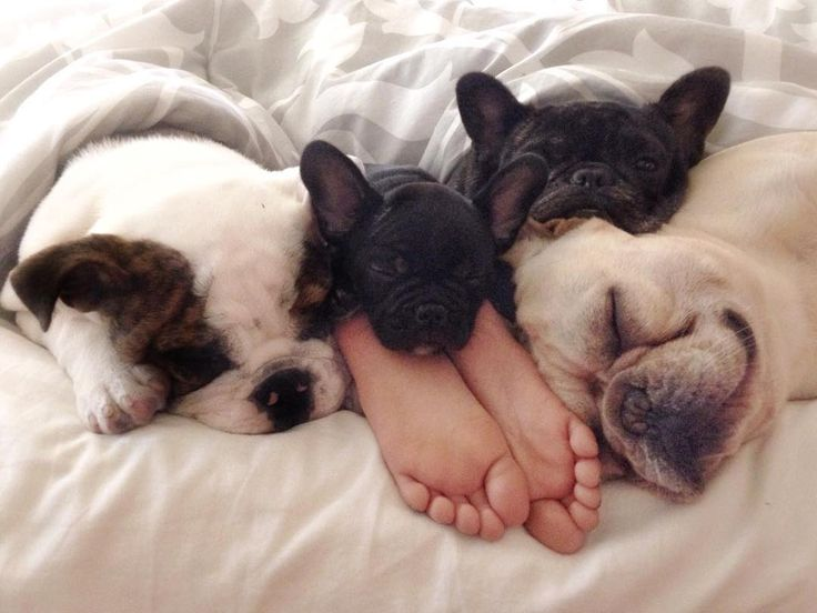 A family of 'foot warming' French Bulldogs.❤️❤️