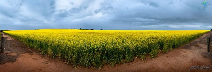 The Canola is in full bloom in the Wheatbelt! Amazing colours can be seen from the road...