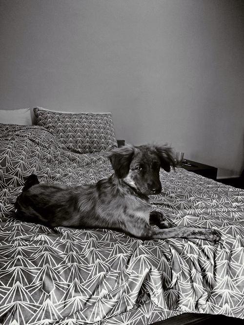 Bozak on LOOM#bozak #looming #fierce #dog