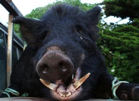Chatams Island pig - https://www.facebook.com/RaiValleyHuntingFishing