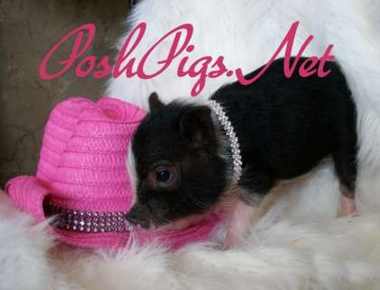 Teacup Pigs | Hoobly: teacup pigs, teacup pig, teacup pigs for sale, micro piglets ...