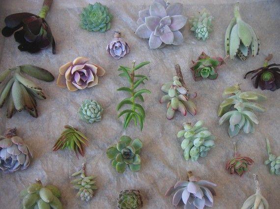 Succulents Cuttings