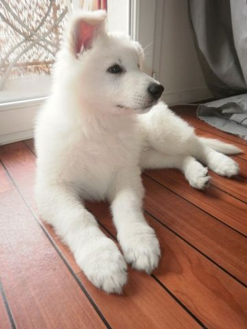 Junior, Berger Blanc Suisse -- Swiss White Shepherd Dog puppy