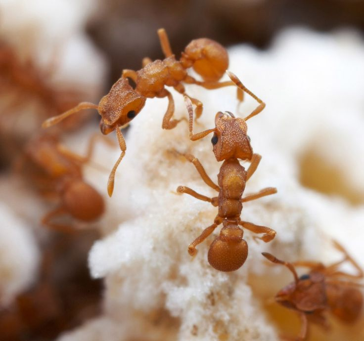 Fungal fidelity: some ants have been eating the same meal for 5 million years!