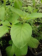 Holy Basil: Oct 08 Journal of Ethnopharmacology study which was performed on rats w sciatic nerve neuropathy. Ocimum sanctum (holy basil) extract was administered for ten days following surgeries. Scientists observed that HBE reduced the effects of nerve degeneration, helped to make nerve receptors more sensitive to stimuli, and aided in motor control after the surgery.