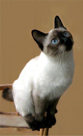 Той-бобтейл – карликовая тайская кошка