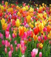 Tulip Spring Garden