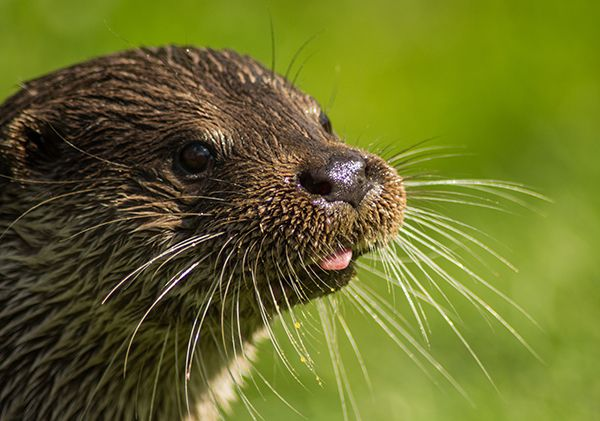 Otter sticks out his tongue just a little bit - August 8, 2014