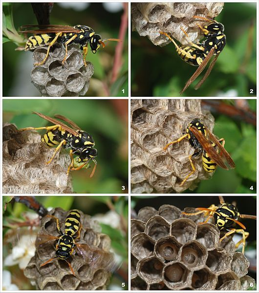 In Defense of the Paper Wasp | Root Simple. From nature's perspective all creatures have a role, even the much despised paper wasp.