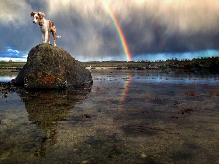 Kiwi is my rainbow treashure ☔️☀️ Miniature American Shepherd / Miniaussie ❤️