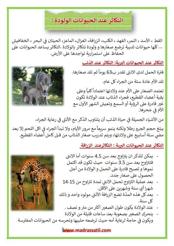 التكاثر عند الحيوانات الولودة التكاثر بالولادة عند الحيوانات مثال الذئب و الزرافة و القطة موقع مدرستي
