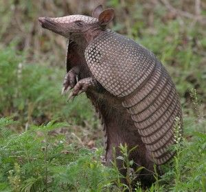 Missing home a little, but the good news is that Armadillos are on the move due to warming temperatures- north to DC!