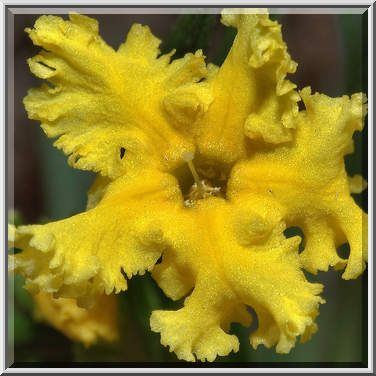 28 best petals five petals images on pinterest native plants ruffled petal lobes of yellow flower of fringed puccoon lithospermum incisum mightylinksfo