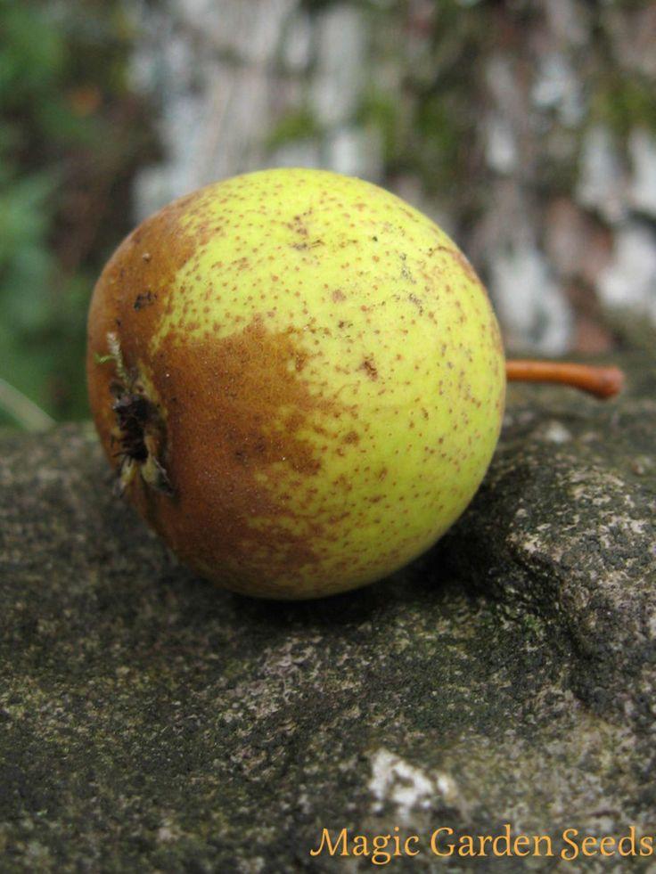 Die Holzbirne (Pyrus pyraster) ist die Urahnin der heute bekannten Birnensorten.