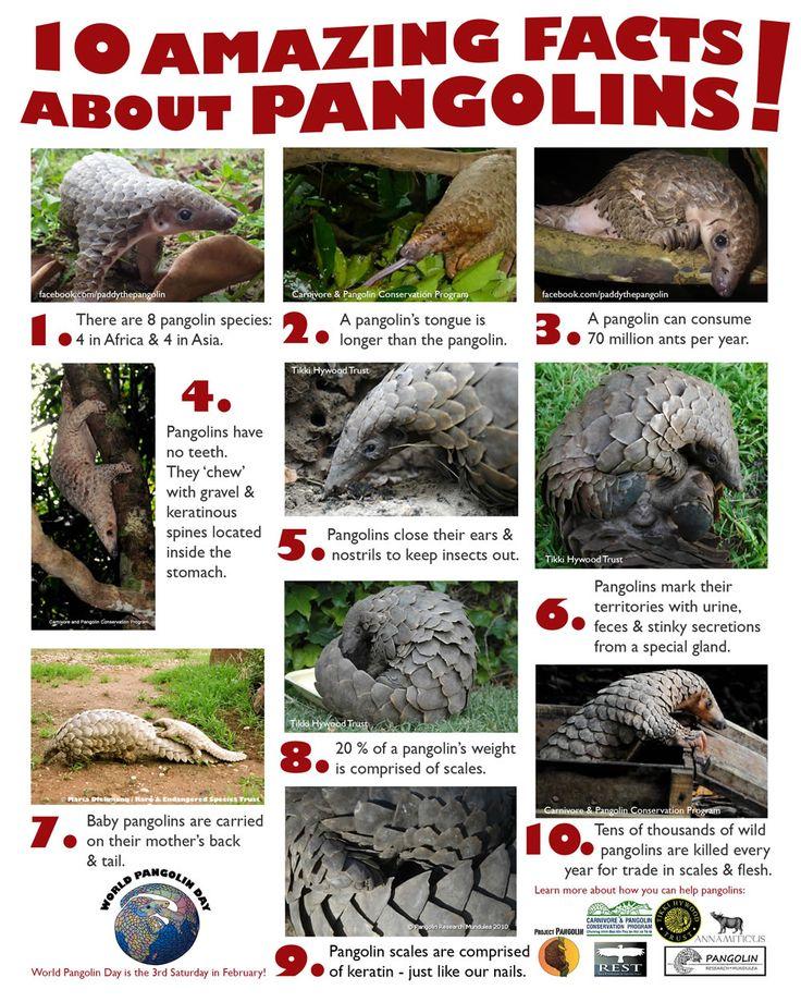 10 Amazing Facts About Pangolins!
