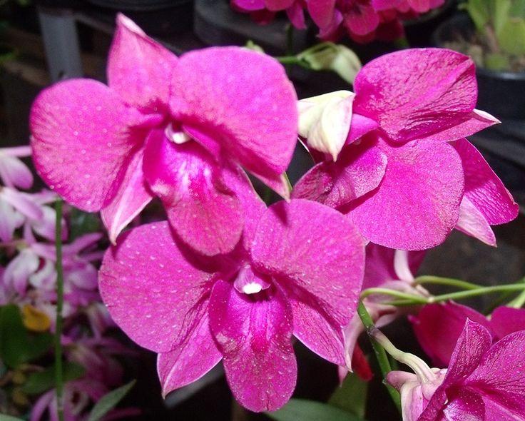 Trabalhamos com uma variedade muito grande Orquídeas,plantas que atépouco tempo eram elitizadas por todos que tinham vontade de cultivá-la...