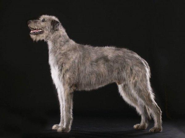 Ирландский волкодав – настоящий гигант собачьего мира, в котором гармонично сочетаются величественная мощь и нежная преданная любовь к своему хозяину