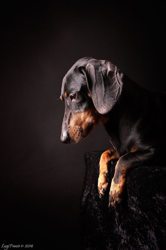 Lovely Dachshund by Luigi Panico