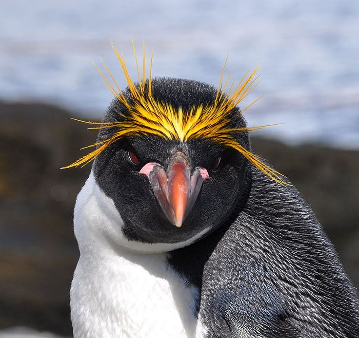 """cool-critters: """"Macaroni penguin (Eudyptes chrysolophus) The macaroni penguin is a species of penguin found from the Subantarctic to the Antarctic Peninsula. It bears a distinctive yellow crest, and..."""