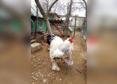 Pollo gigante que está causando terror en internet