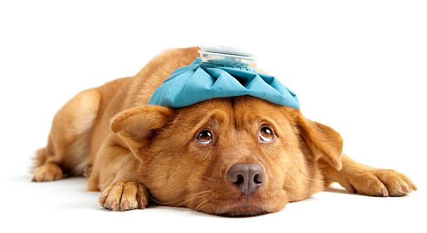 The 5 Most Dangerous Human Foods For Dogs Pets Sick Dog Human