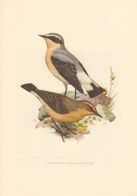 1958 Northern Wheatear, Antique Print, Vintage Lithograph, Oenanthe oenanthe, Passerine Bird, Muscicapidae, Ornithology