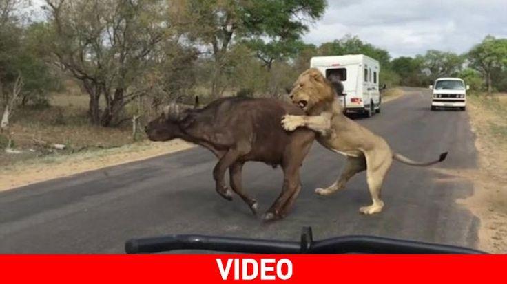 Μπροστά στα μάτια τουριστών: Τέσσερα λιοντάρια κατασπαράζουν ένα βουβάλι
