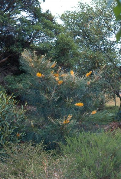 74 best shrubs 1m to 5m images on pinterest