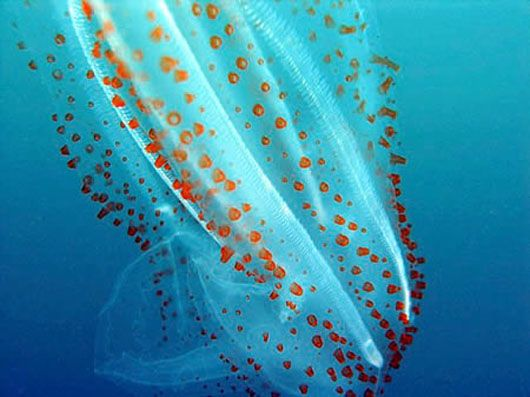 Amazing Sea Salp Salps certainly look like jellies! But if you look closely at an individual salp, you'll see that it is actually a complex organism compared to a jelly. The salp has internal organs and structures that jellies don't have, such as a heart, vascular system, pharynx, and gonads.