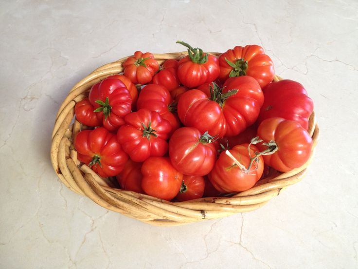 harvesting fall heritage genovese tomatoes from my garden